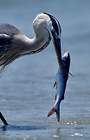 Great Blue Heron (Ardea herodias) with catfish discarded by fisherman on the beach, Galveston, Texas, USA