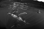 Tonga Southern Humpbacks