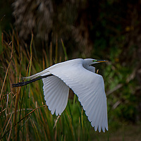 Flying Great Egrets - Venice Rookery