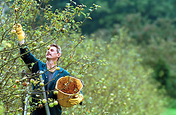 Aspall Orchard in Debenham, Suffolk. The start of the apple harvest. They shake the tree to make the apples fall. Colin Crements then picks up the apples of the ground, September 29, 2000..Photo by Andrew Parsons/i-Images.