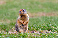 A Columbian Ground Squirrel (Urocitellus columbianus) sitting by his/her burrow at Lightning Lakes in Manning Provincial Park in British Columbia, Canada.