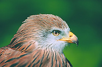 Red Kite<br /> Flora and Fauna<br /> M107-395