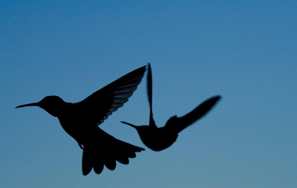 Hummingbirds in flight, Bahia, Brazil