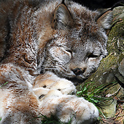 A Canada Lynx, Lynx canadensis, sleeping. Lehigh Valley Zoo, Schnecksville, Pennsylvania, USA