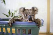 Koala <br /> Phascolarctos cinereus<br /> Eleven-month-old orphaned joey named Neil <br /> Koala Hospital, Port Macquerie, Australia<br /> *captive