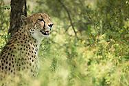 cheetah, Acinonyx jubatus, gepard, guepardo, チーター, 猎豹, فهد