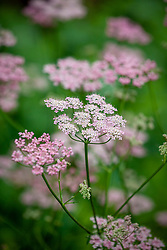 Pimpinella major 'Rosea' - Pink greater burnet saxifrage