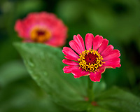 Red Zinnia Flower. Image taken with a Fuji X-H1 camera and 80 mm f/2.8 macro lens