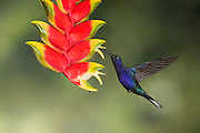 Violet Sabrewing<br />