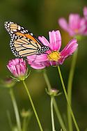 Monarch Butterfly On A Pink Flower, Danaus plexippus
