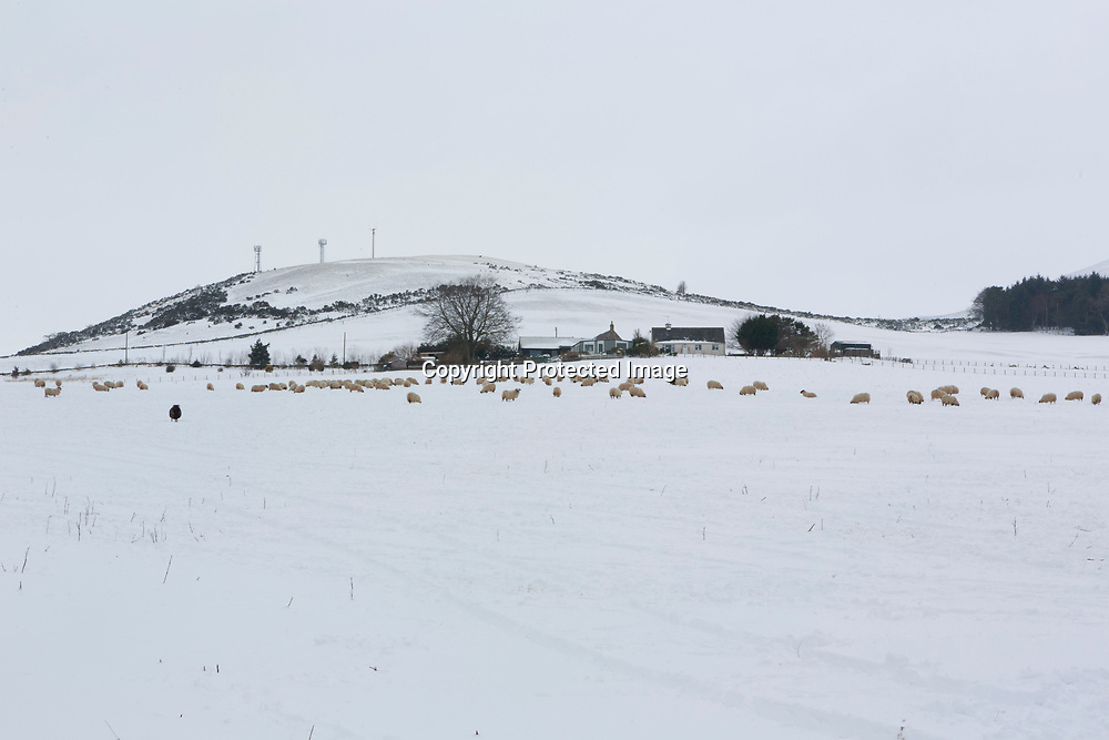 Penicuik, Scotland 3rd March 2018. General view of flock of sheep grazing grass on the snow in the Pentland Hills. Photo by Pako Mera.