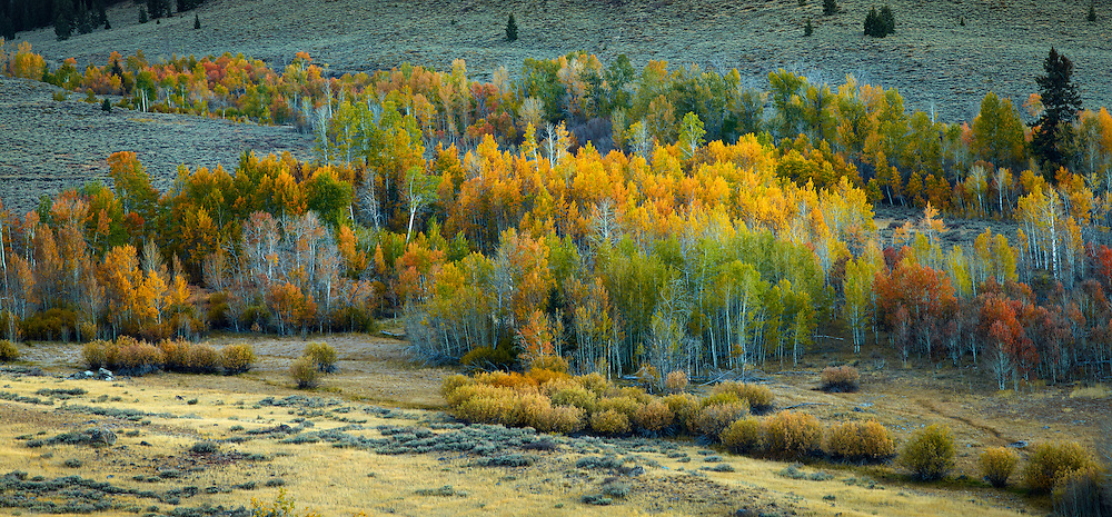 Boulder Aspen panoramic, near Sun Valley Idaho. Boulder Mountains