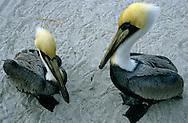 USA, Vereinigte Staaten von Amerika: Braunpelikan (Pelecanus occidentalis), zwei männliche Pelikane stehen am Strand nebeneinander, Indian Shores, Florida, USA. | USA, United States of America, Florida, Indian Shores: Two male Brown Pelicans (Pelecanus occidentalis) standing together on the beach. |