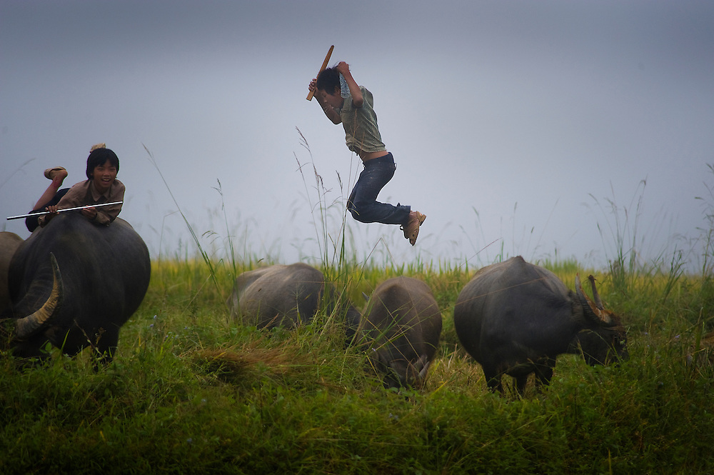 A young child jumps off a water buffalo in an agricultural field. Many Asian countries depend on the water buffalo as its primary bovine species. It is valuable for its meat and milk as well as the labor in the fields.