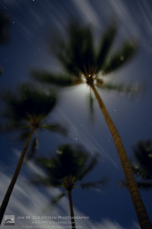 An upward view of palm trees blowing in Hawaiian Trade Winds