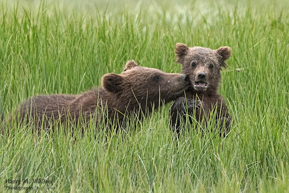 Larger brown bear Spring cub shows affection to smaller Spring cub; Ursus arctos; Kukak Bay in Katmai National Park Alaska