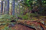Second generation logged forest on Hanson island near Alert Bay, British Columbia, Canada