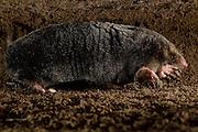 [captive] European Mole (Talpa europaea) in its subterranean burrow. Kiel, Germany | Maulwurf (Talpa europaea) in seinem unterirdischen Gang. Er hat gerade einen Haufen gemacht. Kiel, Deutschland