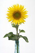 sunflower in full bloom in bottle
