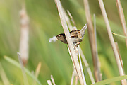 A marsh wren (Cistothorus palustris) collects material for a nest it's building in the wetlands near Swan Lake, Victoria, Canada. Marsh wrens build nests that are suspended above the ground, attached to reeds. The male sometimes builds several nests, using the decoys to confuse predators.