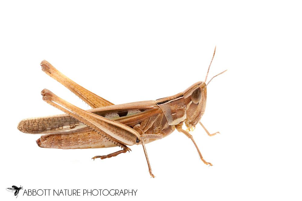 Admirable Grasshopper (Syrbula admirabilis)<br /> TEXAS: Travis Co.<br /> Hornsby Bend Wastewater Treatment Facility off Platt Lane; Austin <br /> 4-6.Oct.2011 N30.232028 W97.644611<br /> J.C. Abbott #2556 &amp; K.K. Abbott