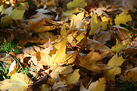 Fallen Autum leaves on grass
