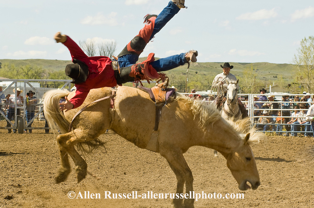 Rodeo, Saddle Bronc rider bucked off, Miles City Bucking Horse Sale, Montana, <br />
