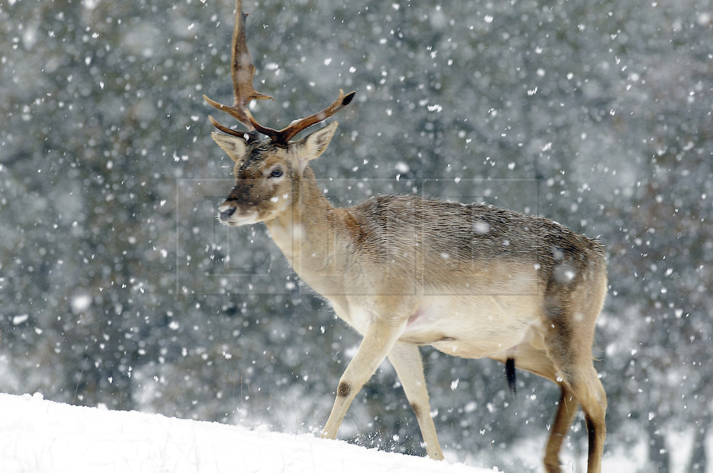 © under license to London News Pictures. 30.11.2010 A Stag with only one antler in the snow at Knole Park in Sevenoaks,Kent. today.. Picture credit should read Grant Falvey/London News Pictures