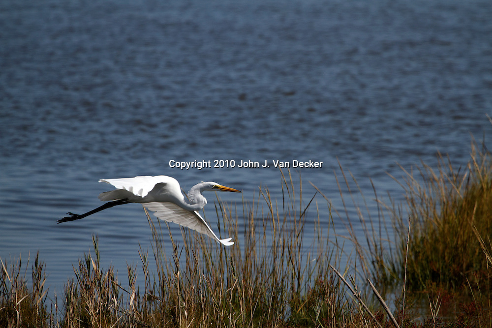 A Great Egret, Ardea alba, flying over a saltmarsh. Edwin B. Forsythe National Wildlife Refuge, New Jersey just north of Atlantic City , USA, North America.