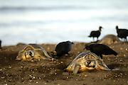 While the female olive ridley sea turtle (Lepidochelys olivacea)  lays its approximately 100 eggs into the nest hole it can not move. So there is nothing the mother turtle can do against the black vultures (Coragyps atratus) that lurk to steal some of the eggs while they are being dropped. | Während sie ihre etwa einhundert tischtennisballgroßen Eier in das gegrabene Loch im Sand fallen lassen, bewegen sich die Oliv-Bastardschildkröten-Weibchen (Lepidochelys olivacea) nicht von der Stelle. Das einzelne Tier kann also nichts dagegen ausrichten, dass die lauernden Rabengeier (Coragyps atratus) die Eier direkt aus dem frischen Gelege stehlen. Die Strategie der Oliv-Bastardschildkröte als Art aber besteht darin, die Freßfeinde durch das Nahrungsüberangebot während einer Arribada (einem Massen-Nistereignis mit bis zu hunderttausenden Schildkröten) auszuschalten. Unter natürlichen Umständen blieben selbst nach den immensen Verlusten durch Geier, Waldstörche, Krabben, Fregattvögel und Raubfische dennoch genug heranwachsene Meeresschildkröten, um das Überleben der Art zu sichern. Menschliche Eingriffe können allerdings schwer überschaubare (Langzeit-)Auswirkungen haben.