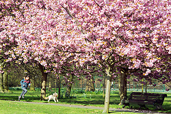 © Licensed to London News Pictures. 10/04/2014. London, UK. A young girl runs through the line of trees.  People walk and play amongst the pink cherry blossom in bright sunshine at Greenwich Park in London today, 10 April 2014,The weather forecast is set to be brighter and warmer over the coming days.Photo credit : Stephen Simpson/LNP