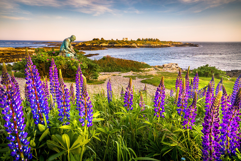A large patch of lupines radiates at Land's End, Bailey Island.