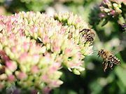 Honey bees look for sweetness on a flower.