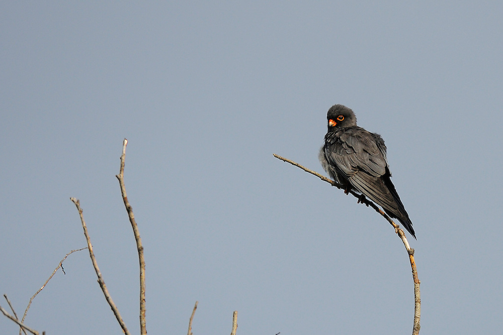Red-footed falcon, Falco vespertinus, Danube delta rewilding area, Romania