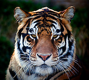 A close up shot of a Bengal Tiger (Panthera tigris tigris).