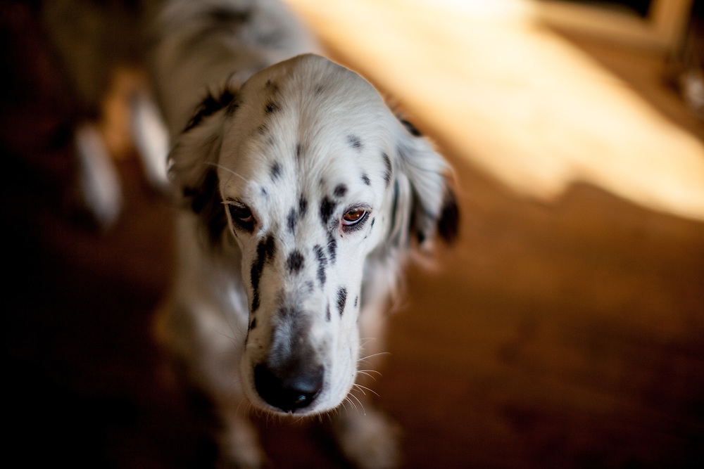 "English Setter ""Rudy"" am 11.10. 2018 in Lysa nad Labem, (Tschechische Republik).  Rudy wurde Anfang Januar 2017 geboren."