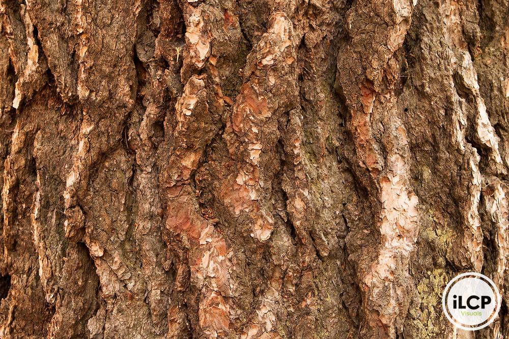 Red Fir (Abies magnifica) bark, Sierra Nevada, Sequoia National Park, California