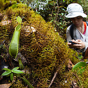 Researcher looks at pitcher plants in the mossy forest, Gunung Bondang Expedition, Central Kalimantan, Borneo, Indonesia. Run by the Heart of Borneo Rainforest Foundation.