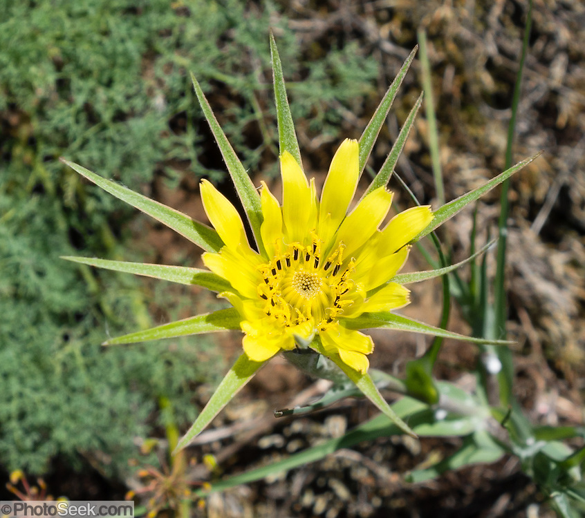 A Tragopogon dubius flower blooms yellow on Ninemile Ridge Trail, Blue Mountains, Umatilla National Forest, Pendleton, Oregon, USA. Tragopogon dubius (commonly known as Yellow Salsify, Western Salsify, Goatsbeard, or Wild Oysterplant) is native to southern and central Europe and western Asia. After introduction into North America, it spread widely (invasively) across the continental United States and most provinces of Canada. The flowers open early in the morning and often close up by late afternoon. The seed head resembles that of a large dandelion. Western Salsify (T. dubius) looks very similar to the commoner Meadow Salsify (T. pratensis) except the green bracts behind the yellow flower are longer and more noticeable. Although not closely related to Meadow Salsify or Common Salsify or Oyster Plant (T. porrifolius), the Western Salsify readily hybridizes with both, and in North America its hybrids have created the new alloploid hybrid species T. mirus and T. miscellus.
