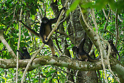 White-Bellied Spider Monkey (Ateles belzebuth)<br /> Yasuni National Park, Amazon Rainforest<br /> ECUADOR. South America<br /> HABITAT & RANGE: Tropical forests of Brazil, Columbia, Ecuador, Peru and Venezuela