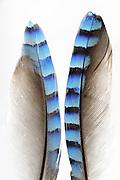 Feather of Eurasian jay (Garrulus glandarius) on white background. Kiel, Germany | Federn vom Eichelhäher (Garrulus glandarius). Niedersächsische Elbtalaue, Deutschland