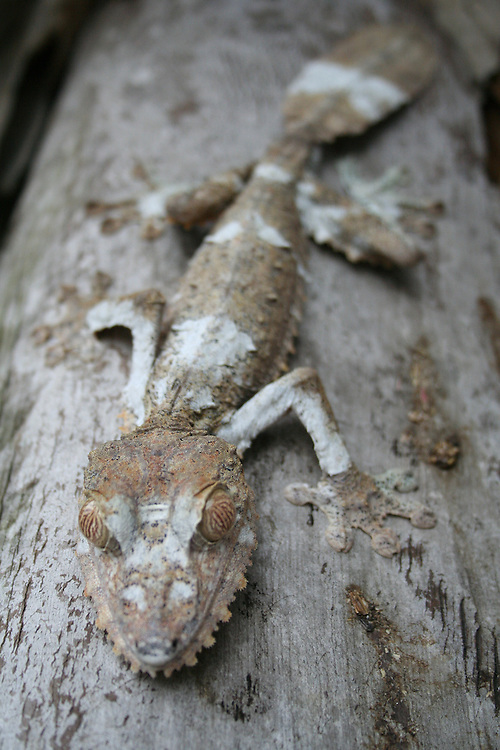 Leaf-tailed gecko, Uroplatus phantasticus, in Madagascar