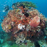 Helathy reef scene, Komodo Island, Indonesia.