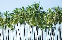 Palm trees on the shore of Hawaii the big island at Pu'uhonua o Honaunau National Historical Park