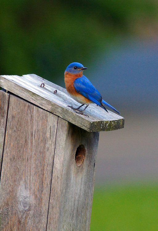 A male bluebird perched on a wooden bird house.  The bluebird appears to be looking off into the distance.