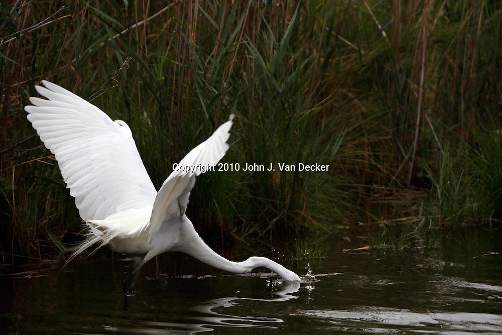 Great Egret, Ardea alba, striking at a fish in a saltmarsh. Richard DeKorte Park, Lyndhurst Meadowlands, New Jersey, USA.