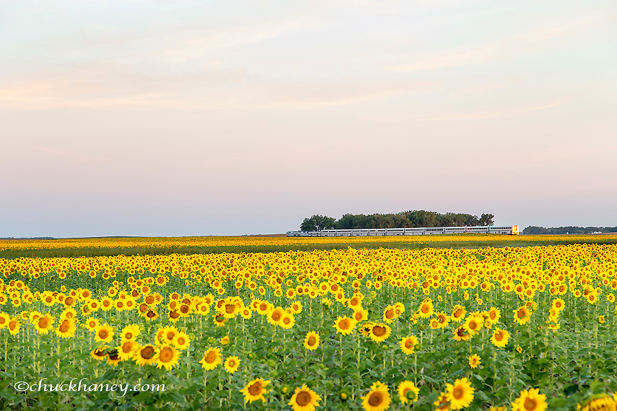 AMTRAK Train passes by field of sunflowers in Michigan, North Dakota, USA