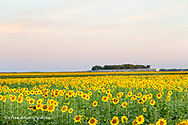 AMTRAK Train passes by field of sunflowers in Michigan, North Dakota, USA