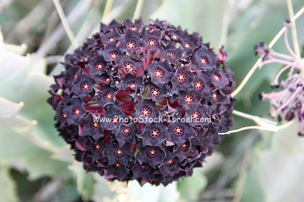 Ethiopia, Caralluma flower