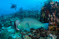 A diver observes a Bumphead Parrotfish leaving a cleaning station<br /> <br /> Shot in Indonesia